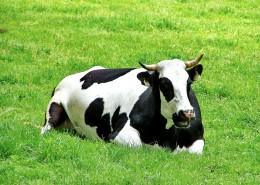 草地上悠闲的奶牛图片(11张)