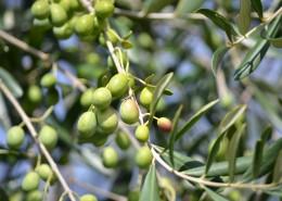 树枝上的橄榄图片(13张)