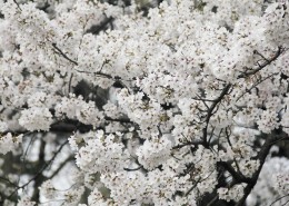 洁白似雪的樱花图片(14张)