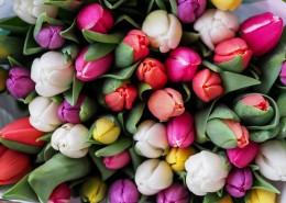 颜色各异的郁金香图片(12张)