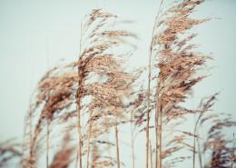 漂亮柔韧的芦苇图片(12张)