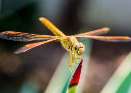 轻盈停落的蜻蜓图片(14张)