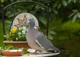 一只灰色鸽子图片(13张)