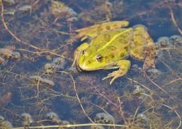 池塘里的青蛙图片(14张)