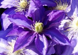 紫色的铁线莲图片(12张)