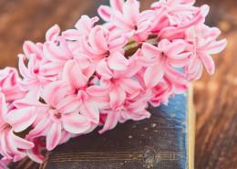 粉红色的风信子图片(9张)