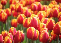 橙黄色的郁金香图片(11张)