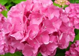 粉红色的绣球花图片(12张)