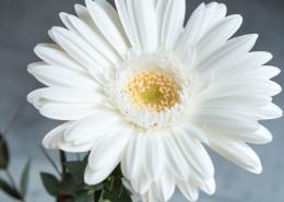 白色的非洲菊图片(12张)