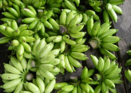 未成熟的绿色香蕉图片(15张)