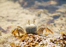 沙滩上的螃蟹图片(9张)