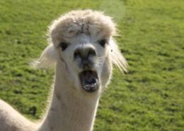 呆萌的羊驼图片(10张)