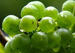 枝头上的绿葡萄图片(11张)