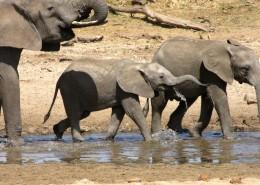野生大象图片(13张)