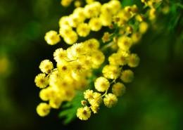 黄色的含羞草花朵图片(11张)