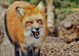 狡黠的狐狸图片(14张)