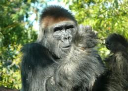 呆萌可爱的大猩猩图片 (14张)