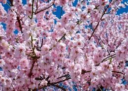 绽放的粉色樱花图片(14张)
