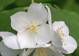 清新淡雅的茉莉花图片(12张)