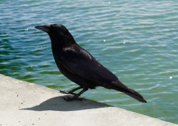 黑色羽毛的乌鸦图片(16张)