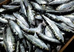 体形细长的沙丁鱼图片(14张)