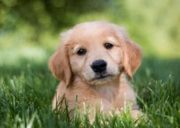 可爱的金毛寻回犬幼犬图片(9张)