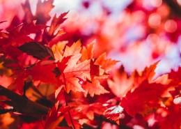 秋季唯美枫叶图片(16张)