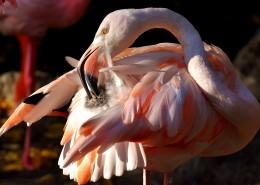 毛色艳丽的火烈鸟图片(13张)