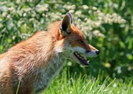 可爱灵气的狐狸图片(13张)