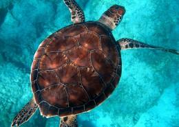 海中畅游的海龟图片(9张)