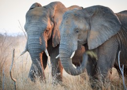 草原上的大象图片(12张)