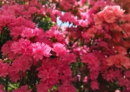 盛开的杜鹃花图片(16张)
