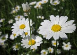 美丽的雏菊图片(12张)