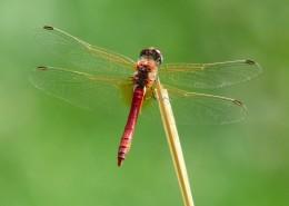 轻盈停落的蜻蜓图片(13张)