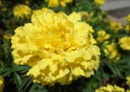 黄色的万寿菊图片(16张)