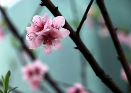 粉色的桃花图片(16张)