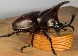 力量惊人的犀牛甲虫图片(10张)