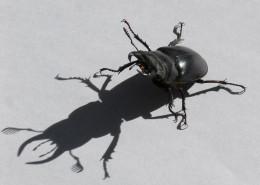 强壮的雄鹿甲虫图片(13张)