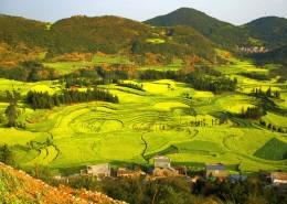 云南罗平油菜花海自然风景图片(12张)