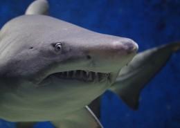 海洋中的鲨鱼图片(12张)