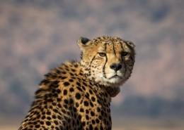 南非猎豹图片(12张)