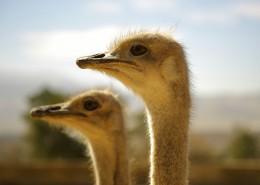 草原上的鸵鸟图片(10张)