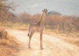 呆萌的长颈鹿图片(12张)