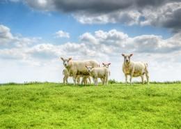 草地上的绵羊图片(12张)