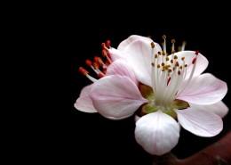 美丽的山桃花图片(12张)