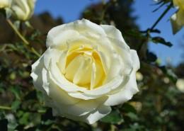 清纯淡雅的白玫瑰图片(15张)