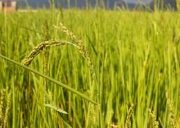 金灿灿的水稻图片(10张)