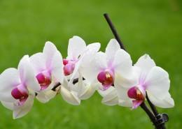 芬芳吐艳的蝴蝶兰花图片(12张)