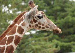 长颈鹿的头部图片(16张)
