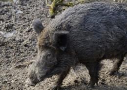 一头野猪图片(15张)